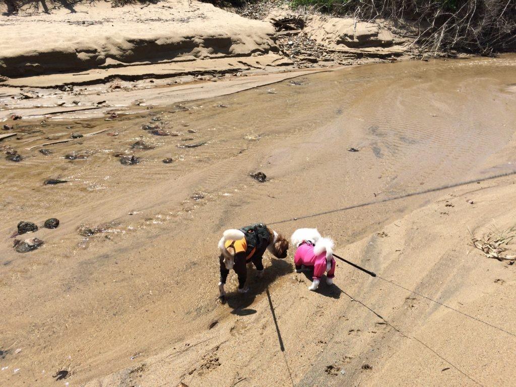川で水を飲む犬たち。 海で犬と遊ぶ