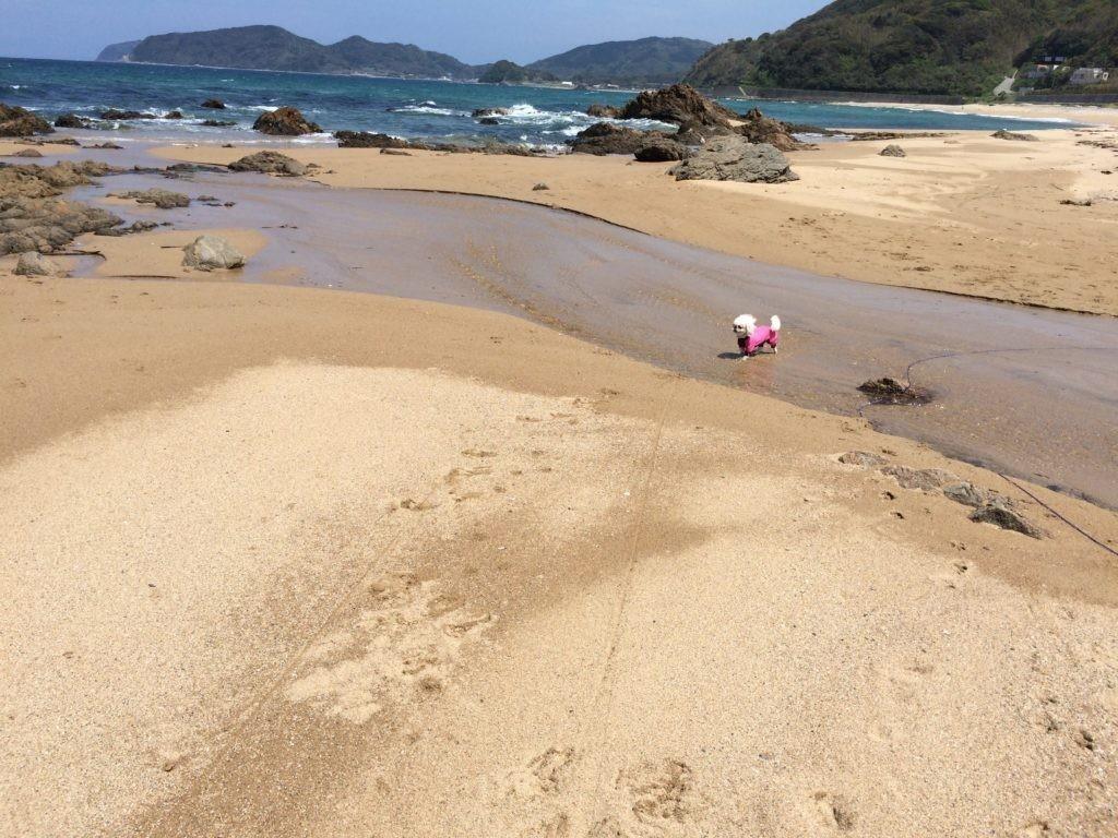 海で遊ぶ ペキニーズ 犬を可愛がるをやってみた