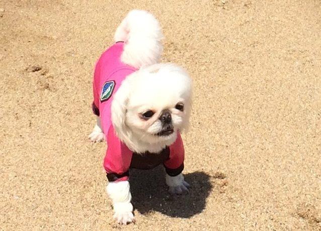 ペキニーズ 犬と海で遊ぶ